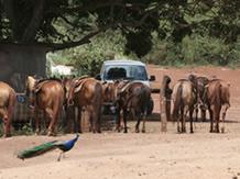 Maui Horse Back Ride